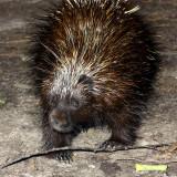 North American Porcupine (Erethizon dorsatum)