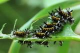 Milkweed Tussock Moth, Hodges#8238 Euchaetes egle