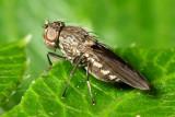 Shore Fly, Paralimna (Paralimna) sp. (Ephydridae)