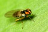 Stenomicra sp. (Periscelididae)