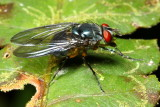 Blow Fly, Mesembrinella sp. (Mesembrinellidae)