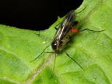 Fungus Gnat (Mycetophilidae)