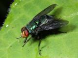 Blow Fly, Blepharicnema splendens (Calliphoridae)