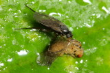 Scuttle Fly (Phoridae)