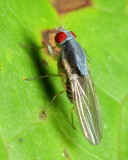Lauxaniid Fly (Lauxaniidae)