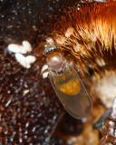 Scuttle Fly, Megaselia aurea (Phoridae)