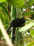 Sickle-winged Guan (Chamaepetes goudotii)