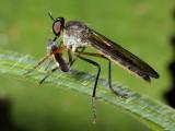 Robber Fly, Glaphyropyga sp. (Asilidae)
