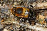 Flower Fly (Syrphidae)