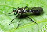 Robber Fly, Eumecosoma sp. (Asilidae: Laphriinae)