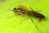 Diptera of Ecuador III