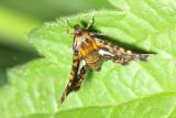 Spotted Thyris, Hodges#6075 Thyris maculata, family Thyrididae