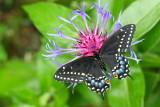 Order Lepidoptera - Butterflies and Moths
