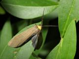 Yellow-collared Scape Moth, Hodges#8267 Cisseps fulvicollis