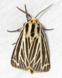 Little Virgin Tiger Moth, Hodges#8175 Grammia virguncula