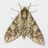 Family Sphingidae - Hawk Moths