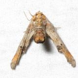 Dark Marathyssa, Hodges#8955 Marathyssa inficita