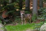 Wolf / Grey Wolf