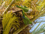 Many noisy parrots in the palm trees along the waterfront