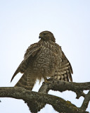 Vulture thru Falcon