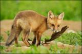 fox_cubs_2012