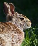 rabbit 16