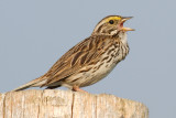 savannah sparrow 42