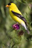 goldfinch 56