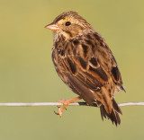 savannah sparrow 44