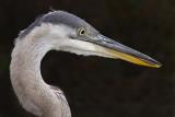 great blue heron 342