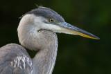 great blue heron 344