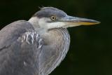 great blue heron 345