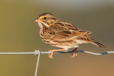 savannah sparrow 46