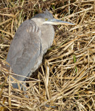 great blue heron 347