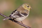 goldfinch 57