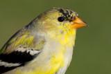 goldfinch 61