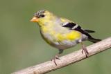 goldfinch 62