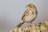 savannah sparrow 49