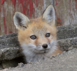 fox cub 21