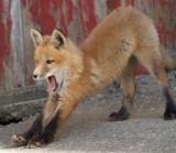 fox cub 23
