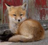 fox cub 24