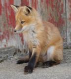 fox cub 27
