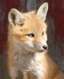 fox cub 28