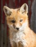fox cub 29
