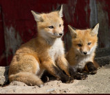 fox cub 30