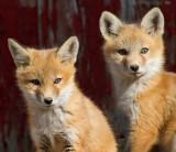 fox cub 31