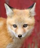 fox cub 33