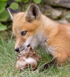 fox cub 37