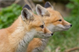 fox cub 39