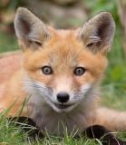 fox cub 41